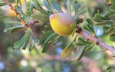 L'huile d'argan au Maroc