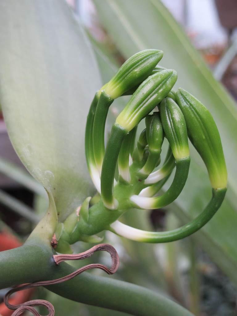 fécondation de la fleur de vanille
