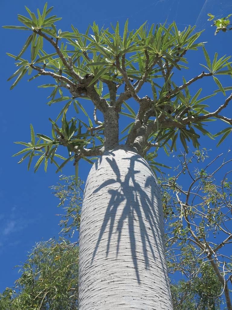 Madagascar botanique