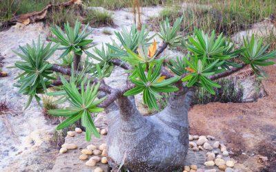 Leçon de botanique à Madagascar