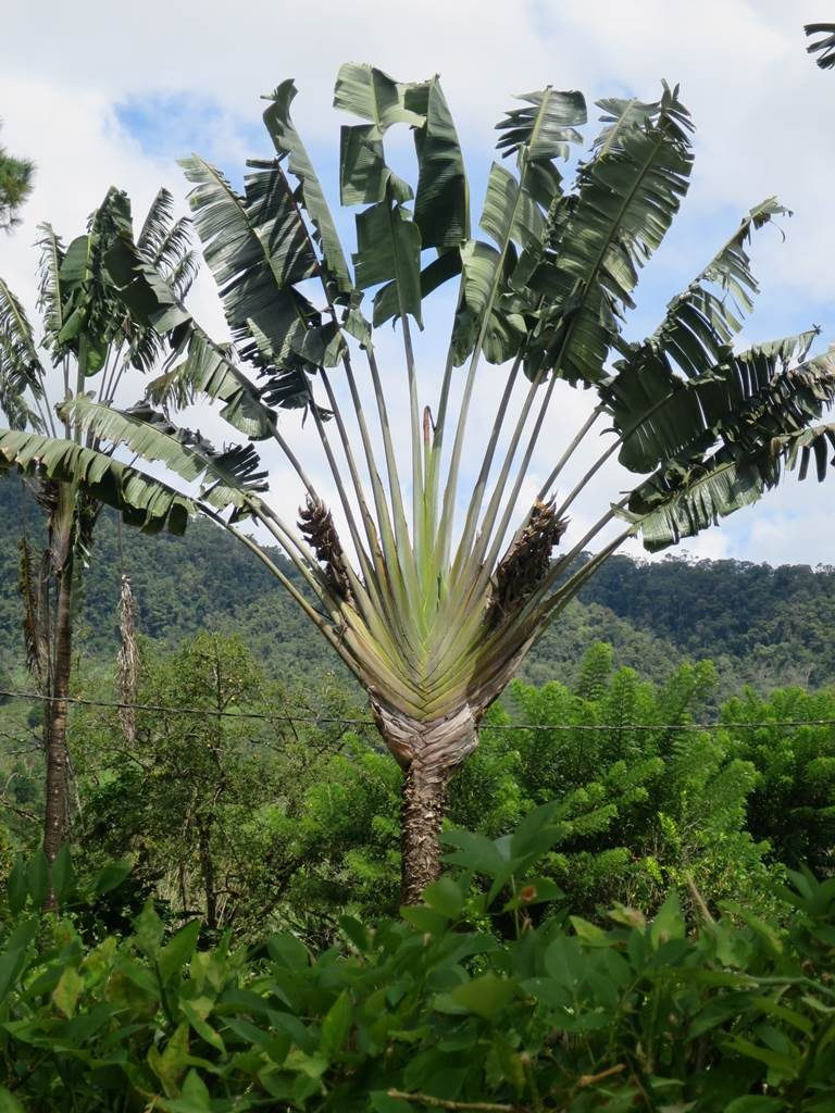 Ravenala Madagascar