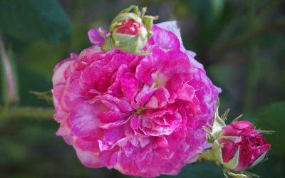 Les roses de 'La Bonne Maison'