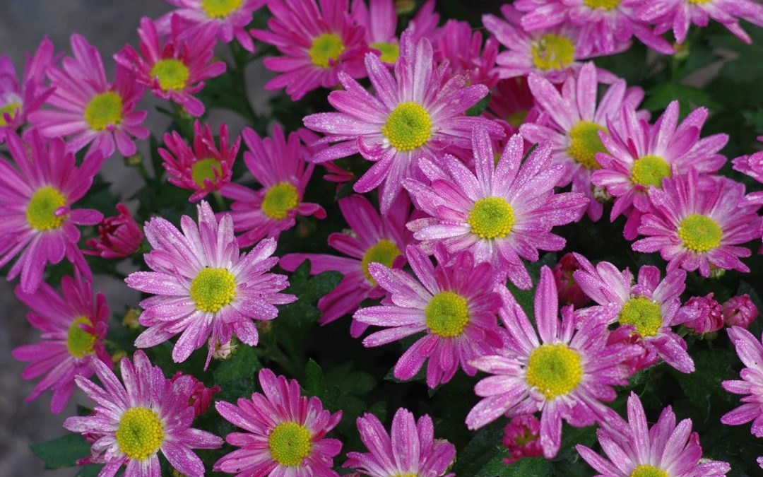 Le chrysanthème de fleuristes