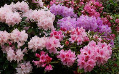 Un rhododendron pour mon jardin