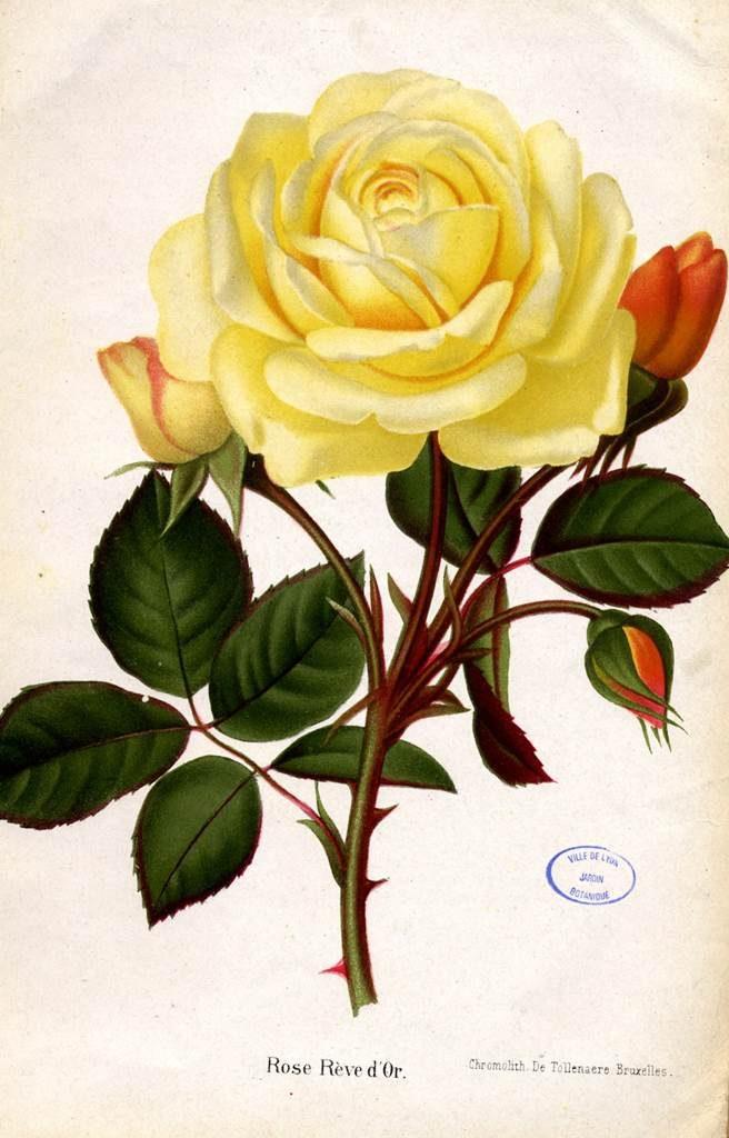 rose de Lyon