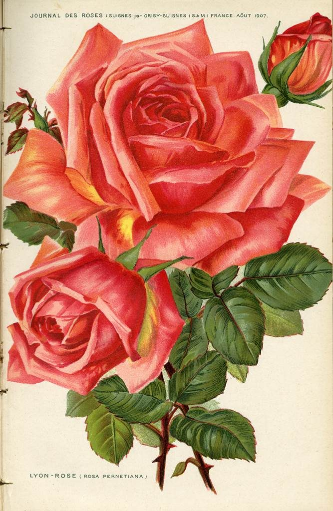 Lyon Rose