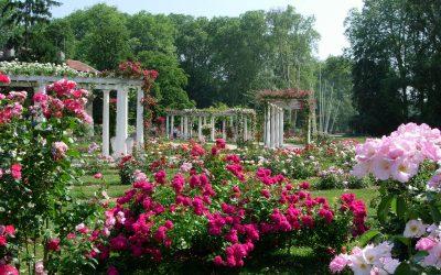Les roses de Lyon