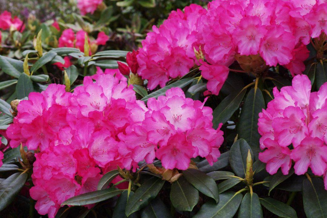 Rhododendron Yak Fantastica