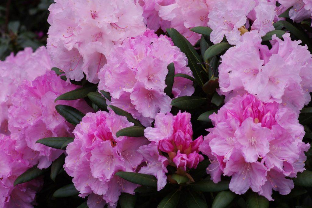 Rhododendron yak Silberwolke