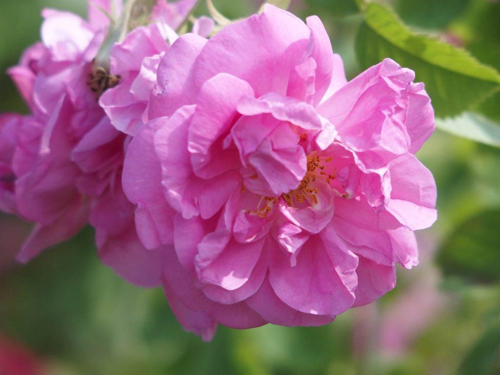 Maroc Rose de Damas
