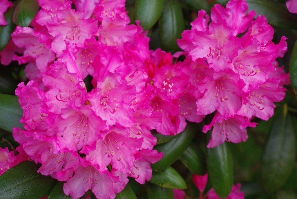 Rhododendron Yak hybride (1)