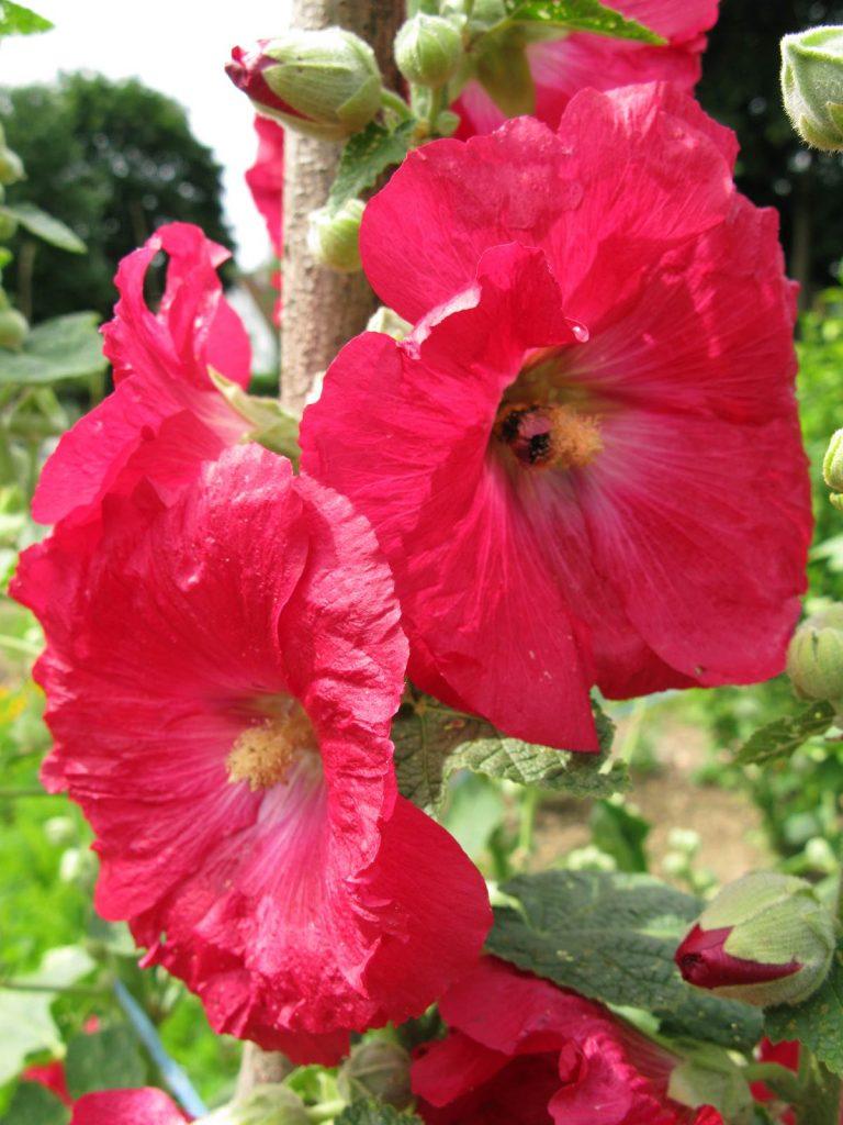 Potager fleuri