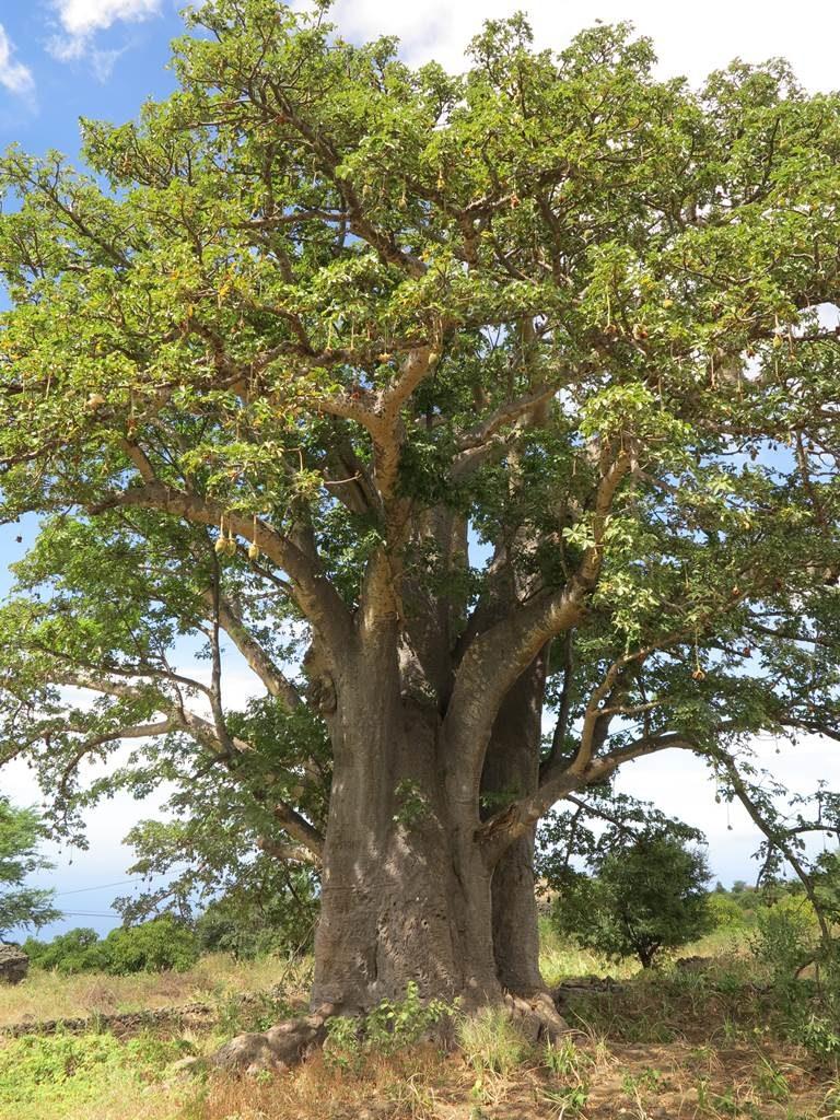 Fogo baobab