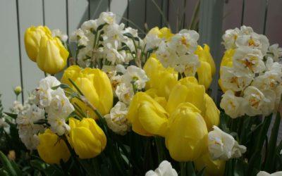 Plantez les bulbes à fleurs du printemps