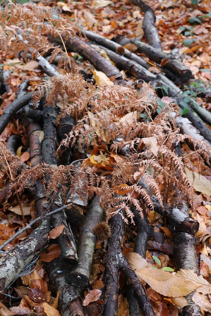 hêtre Fagus sylvatica
