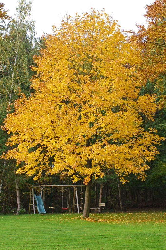 Erable feuillage automne