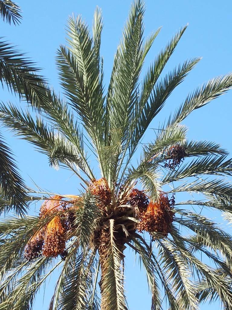 Deglet Nour Tunisie