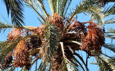 Deglet Nour, reine des dattes en Tunisie