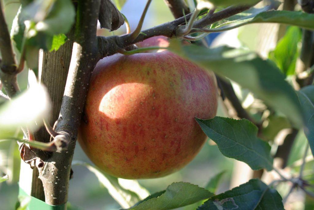 palissage des arbres fruitiers Melrose