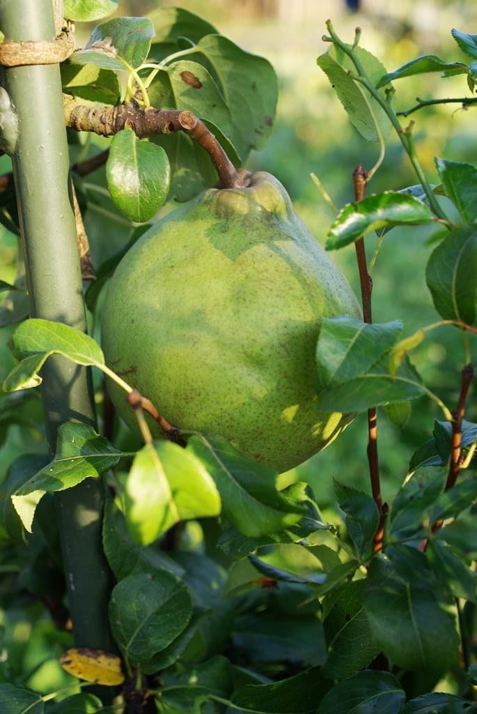 palissage des arbres fruitiers Beurre d'Hardenpont