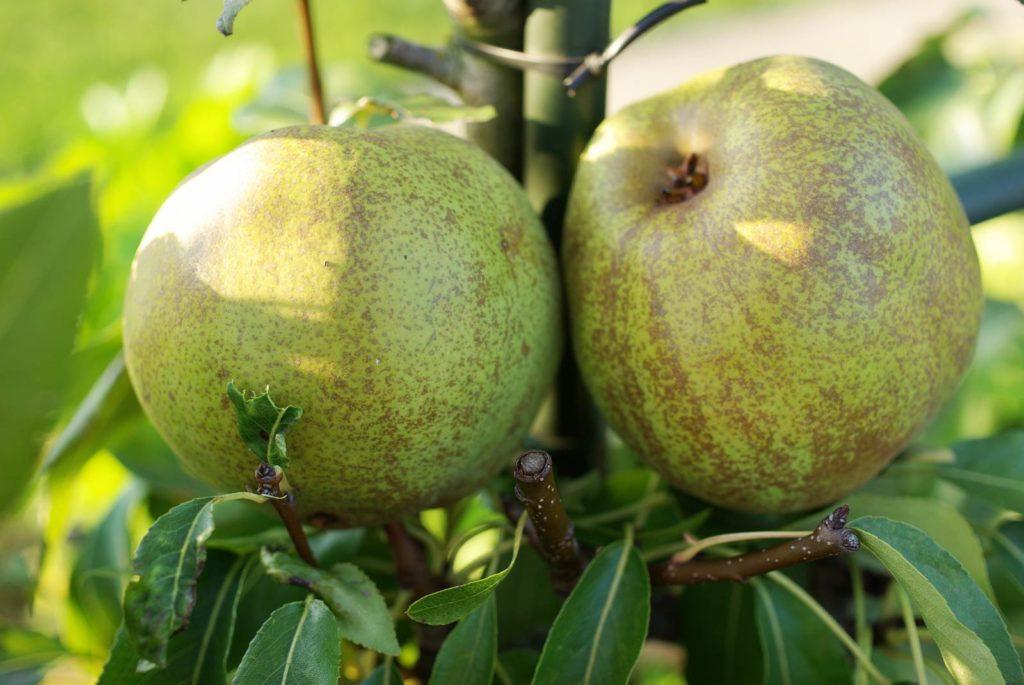 palissage des arbres fruitiers Poire Olivier de Serres
