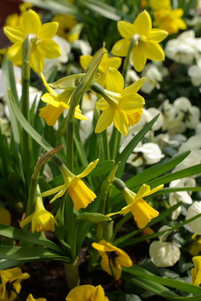 narcisses en pot