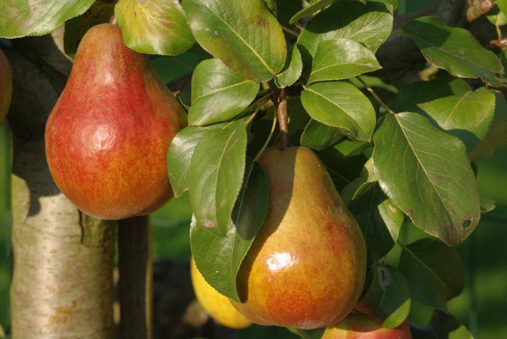 palissage des arbres fruitiers Jules d'Airoles
