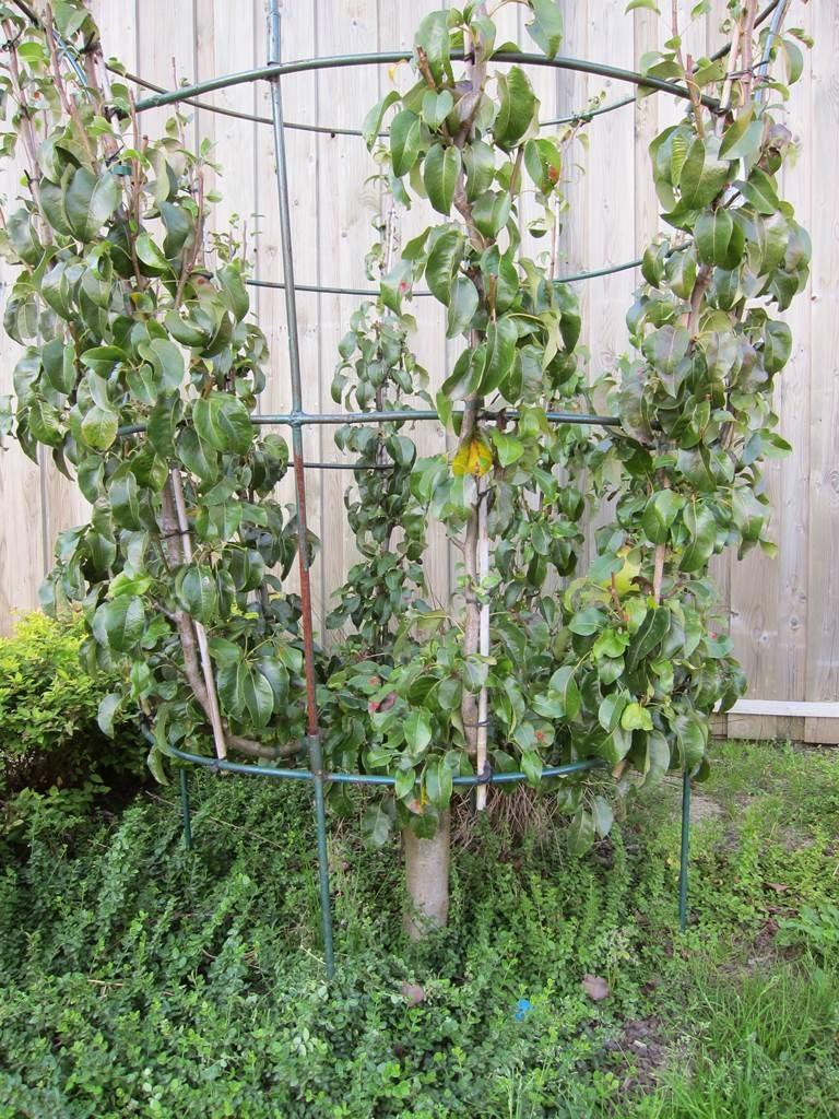 palissage arbres fruitiers pepinières d'Enghien