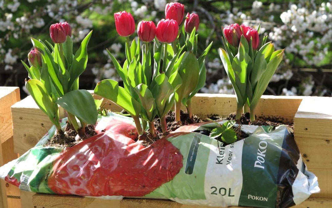 Bulbes de printemps en pot