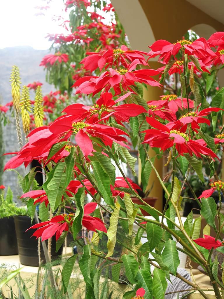 Poinsettia Cap-Vert
