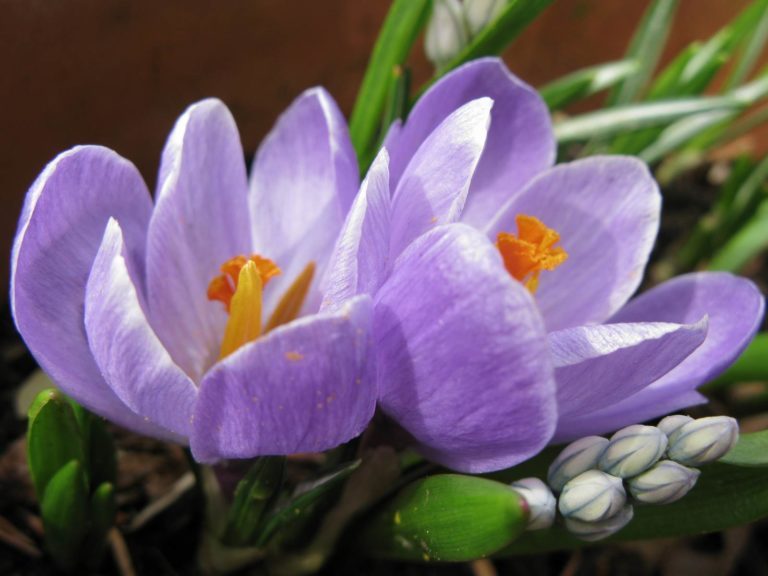 crocus en pot