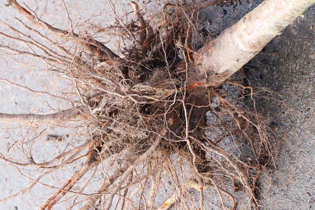 arbre racines nues