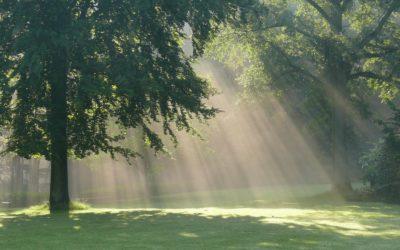 Le hêtre, seigneur de la forêt et de mon jardin