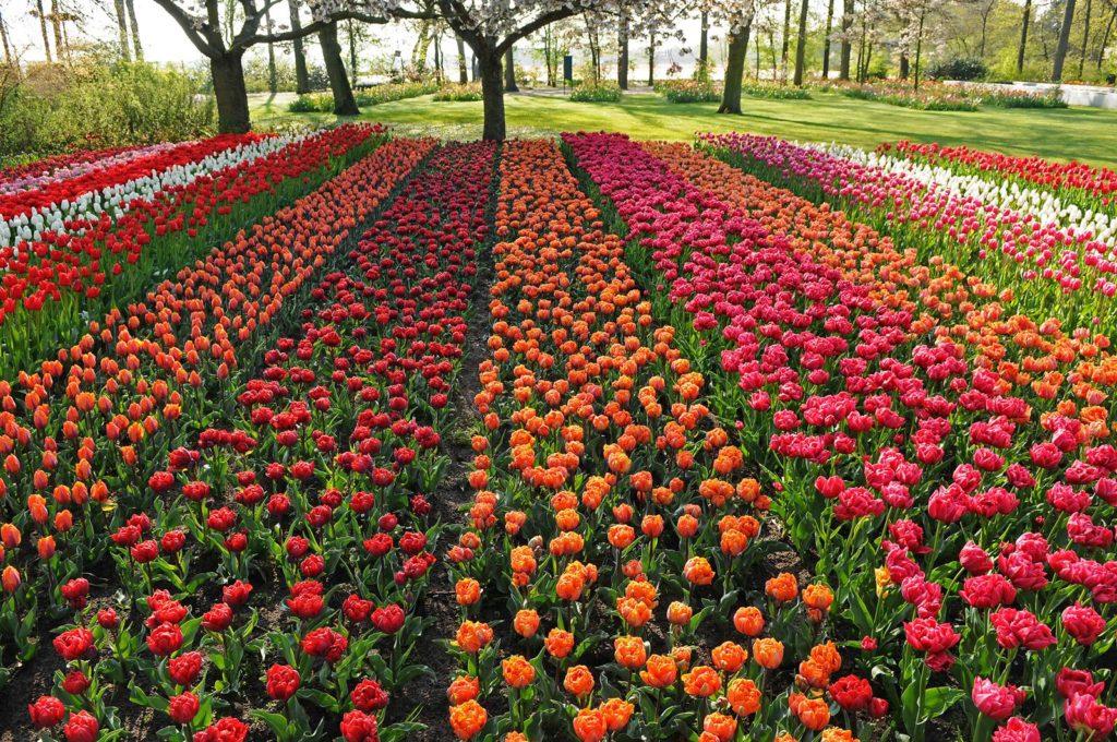 tulipes Keukenhof