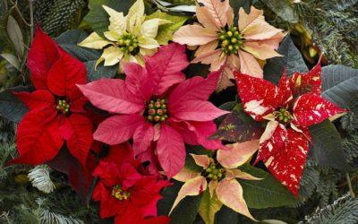 Le Poinsettia, étoile de Noël