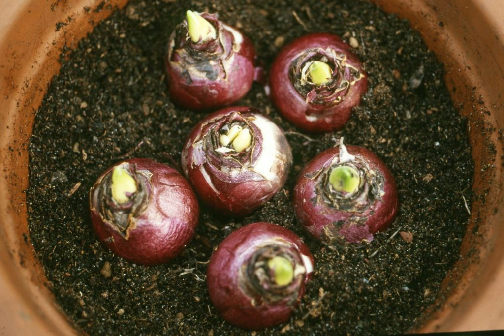 bulbes en pot