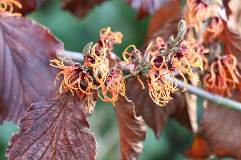 Hamamelis x intermedia Spanish Spider