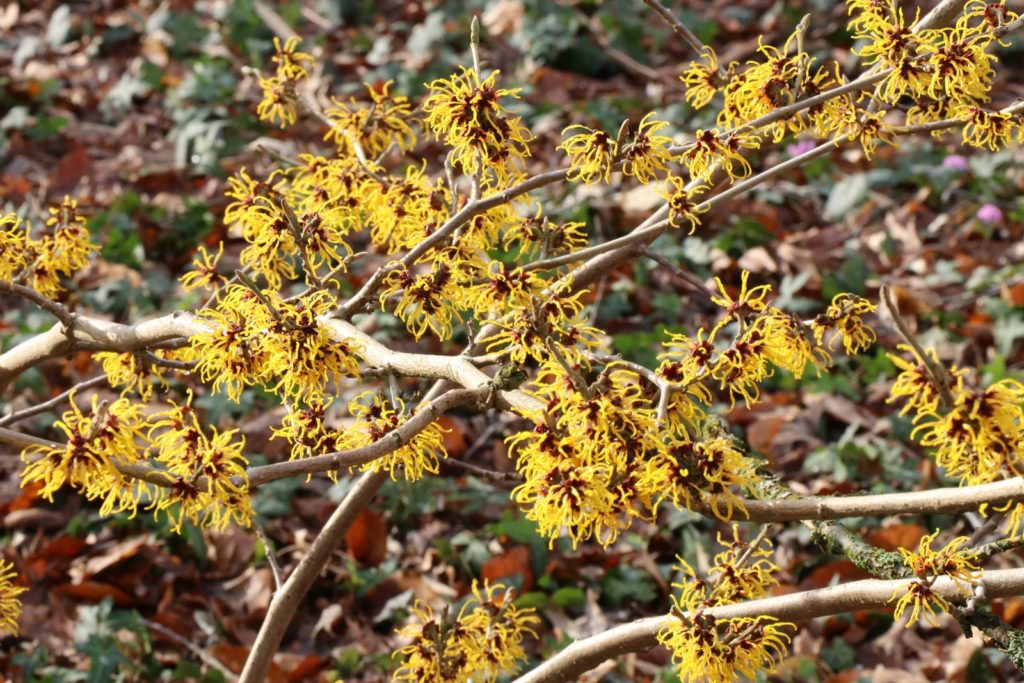 Hamamelis x intermedia Treasure Trove