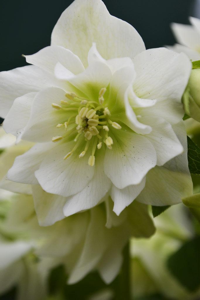 Hellebore orientalis Double White
