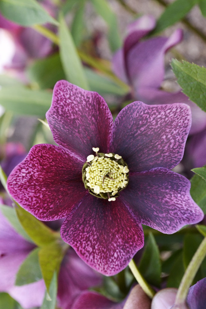 Hellebore orientale Red spotted