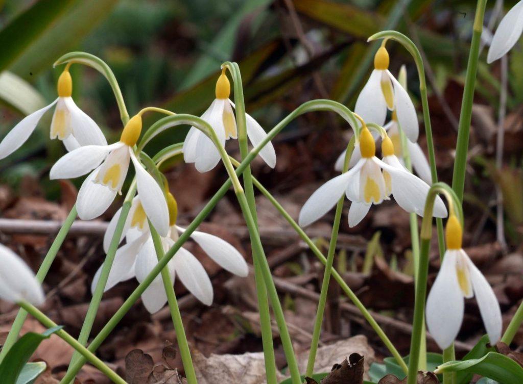 Perce-neige Snowdrops Cambo Gardens