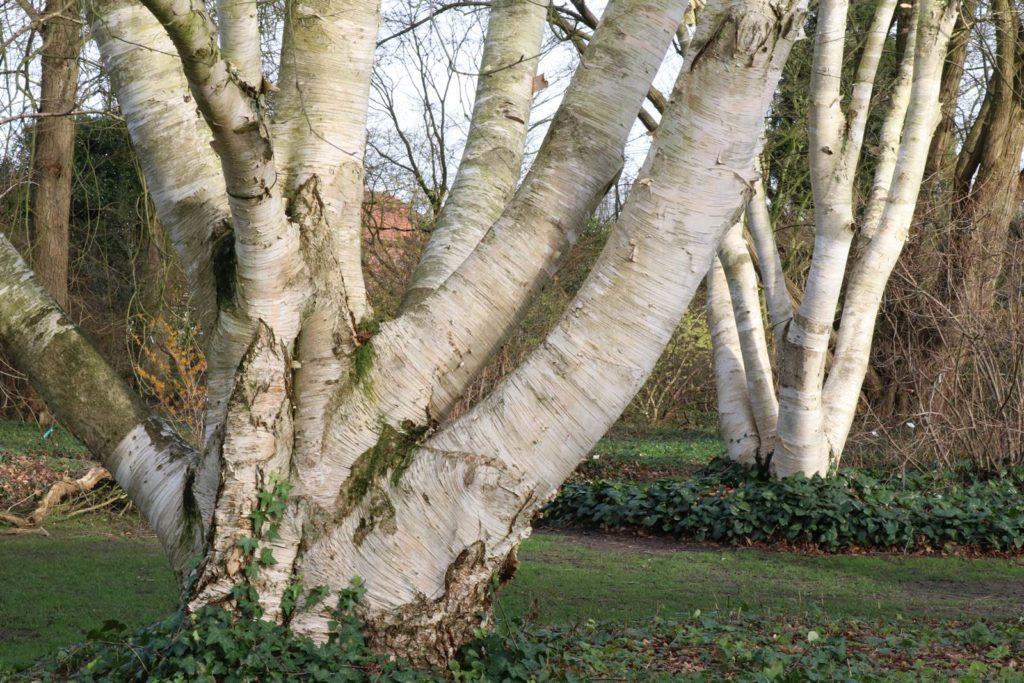 Betula Arboretum Kalmthout