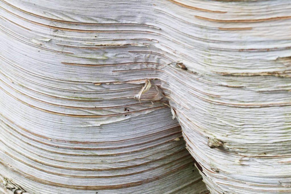 Betula utilis jacquemontii Doorenbos