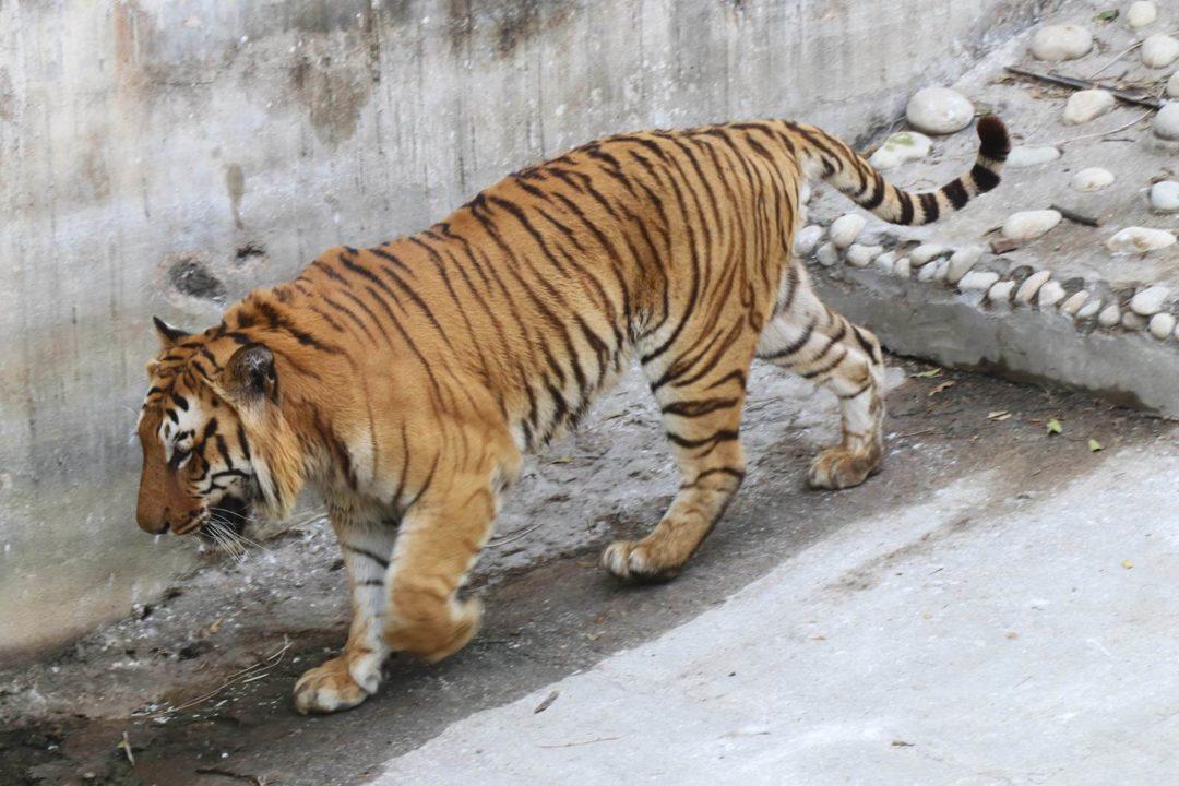 Delhi tigre