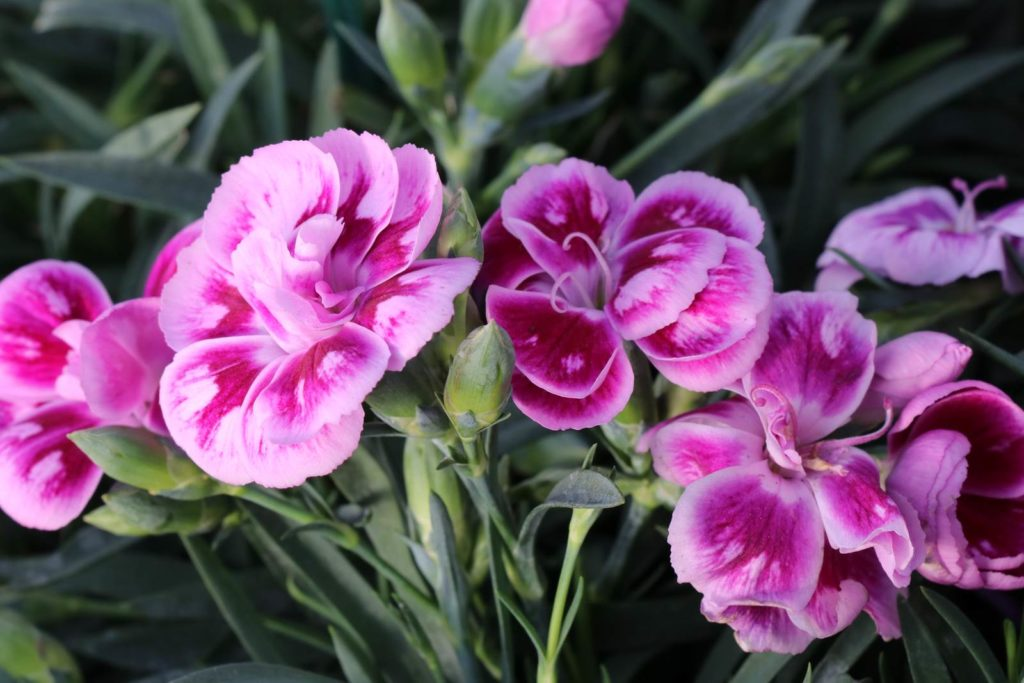 Dianthus Sunflor Charmy