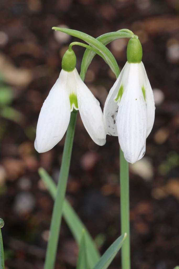 Galanthus Atkinsii