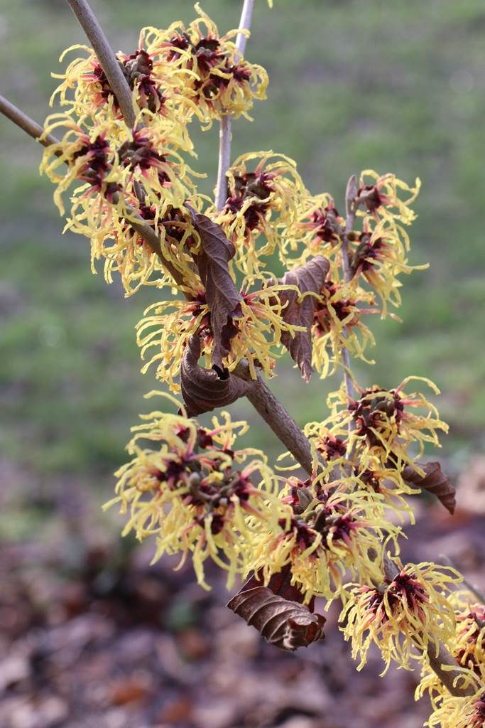 Hamamelis x intermedia Chris