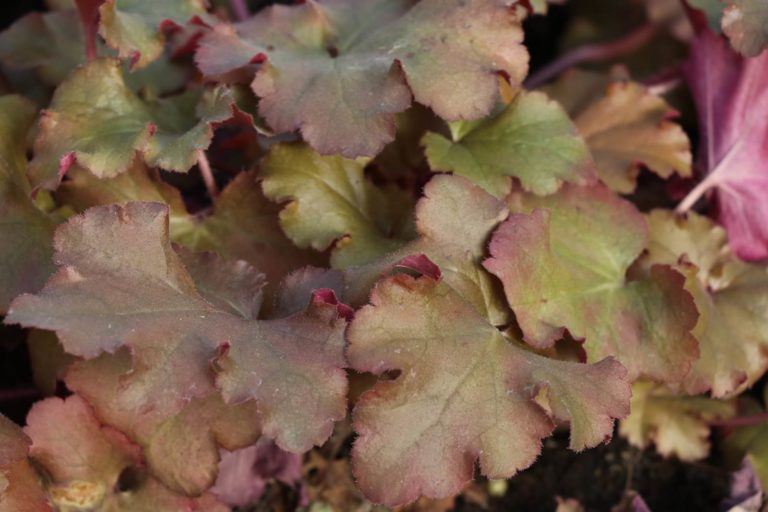 Heuchera Boysenberry