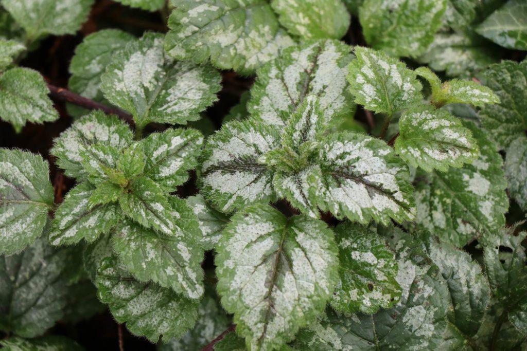 Lamium galeobdolon argentatum