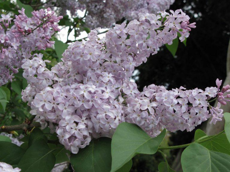 Lilas floraison printanière